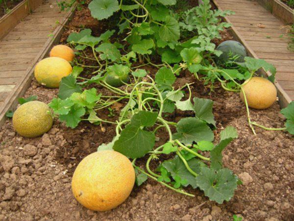 Арбузы Как правильно выращивать в средней полосе?