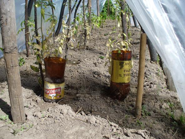 полив томатов через пластиковые бутылки фото ставится врачом основании