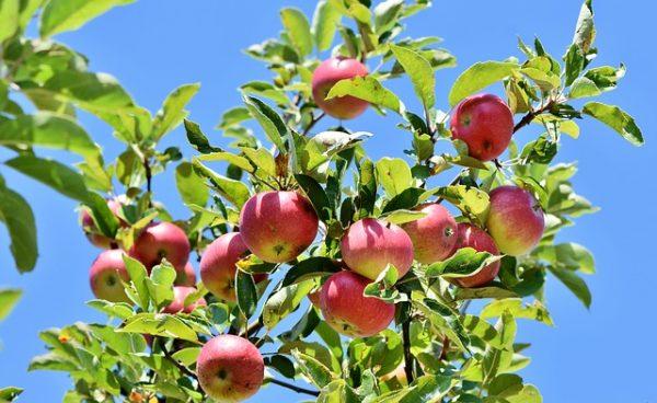 apple-3535566_640