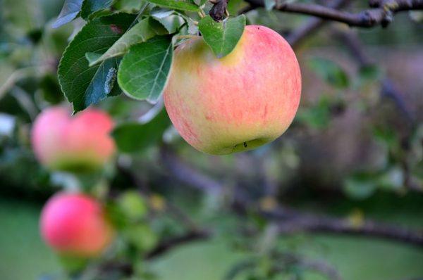 apple-3653448_640