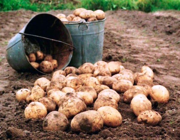 sbor-urozhaya-kartofelya