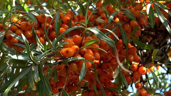 berry-2705009_640