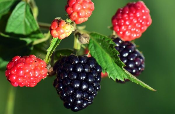 blackberries-2783451_640