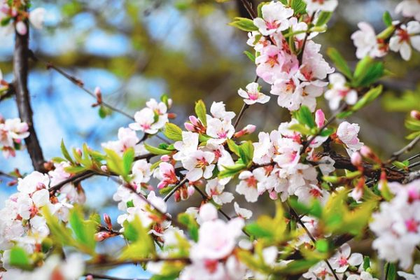 bloom-1836419_640