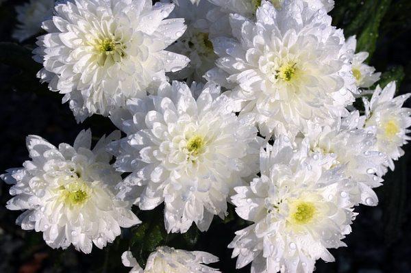 chrysanthemums-1279681_640