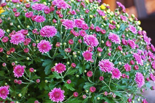 chrysanthemums-bush-3666888_640