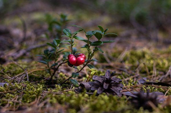 cranberries-2907901_640