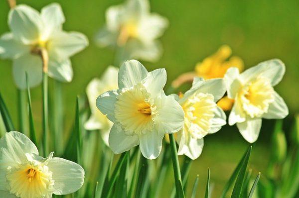 daffodil-733877_640