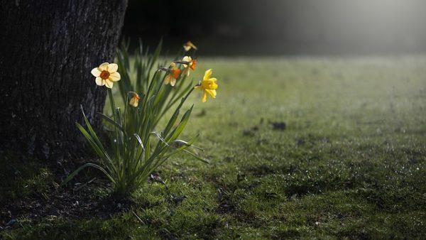 daffodils-455359_640