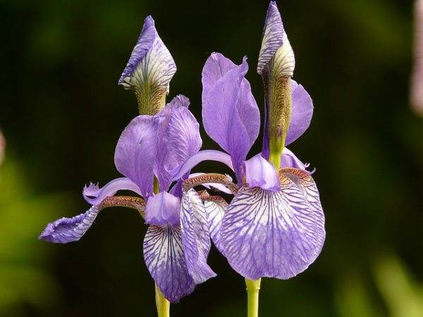 different-colored-irises-7529_640