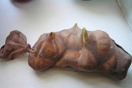 gladiolusy7