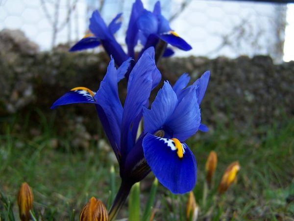 iris-breeding-221313_640