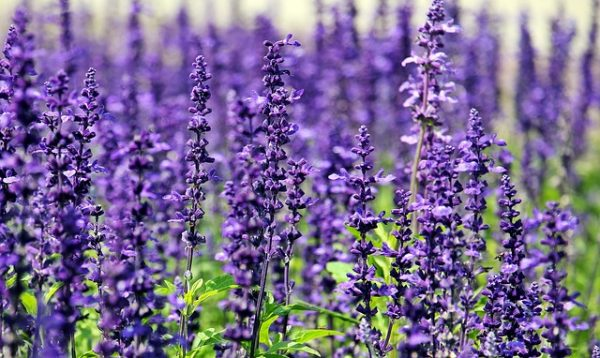 lavender-1507499_640