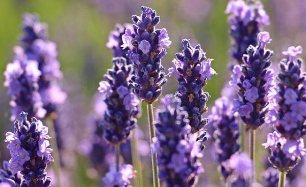 lavender-2426376_640