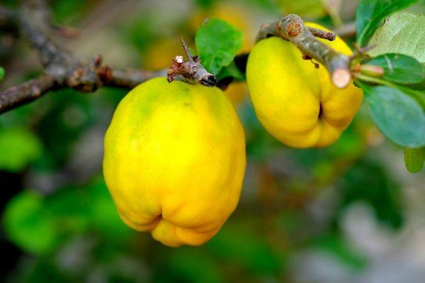 ornamental-quince-2684072_640