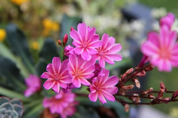 pink-flowers-3534105_640
