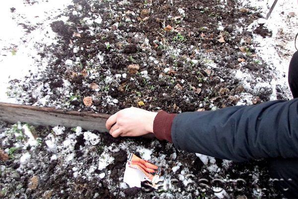 зимний посев моркови