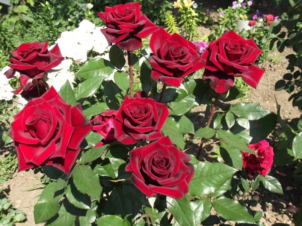rosa-v-zvetu-1