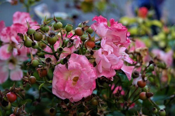 rose-2831224_640