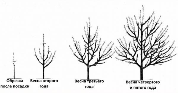shema-obrezki-abrikosa-1