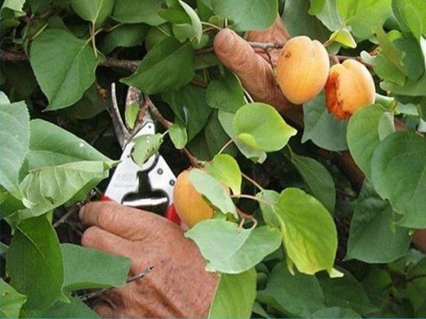 shema-obrezki-abrikosa4