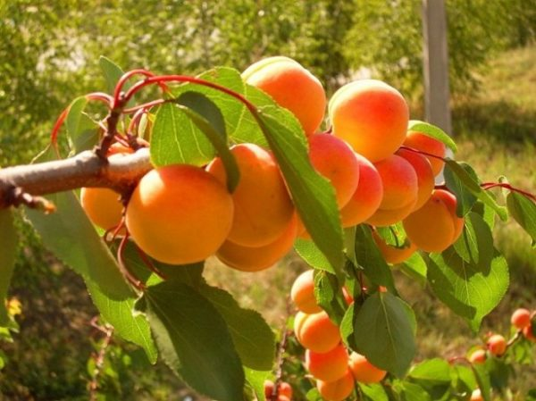 shema-obrezki-abrikosa6