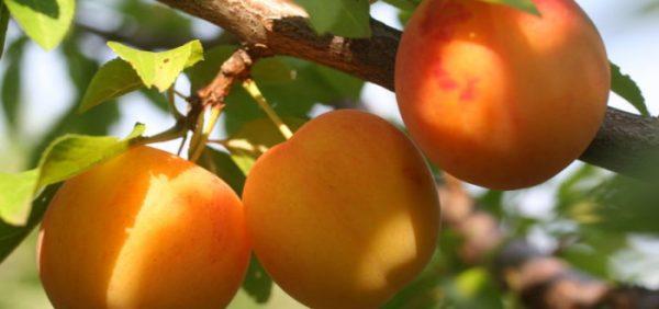 apricots6