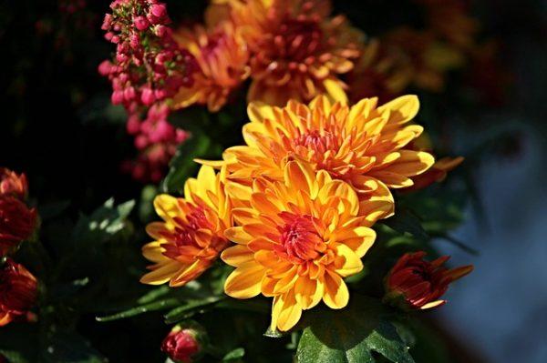 chrysanthemums-2793019_640