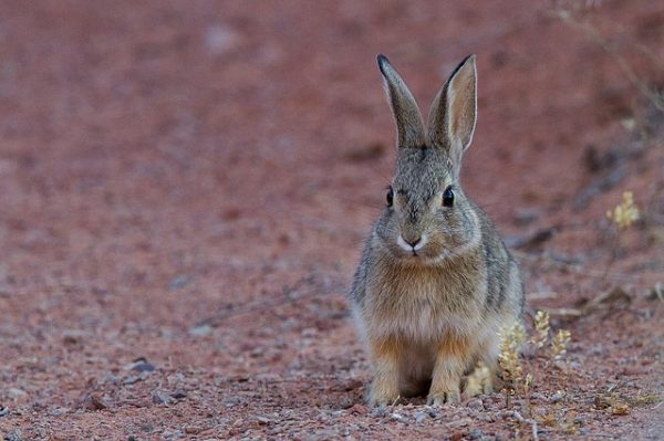 desert-cottontail-1531821_640