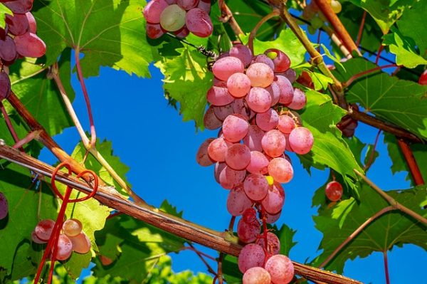 grapes-3633375_640