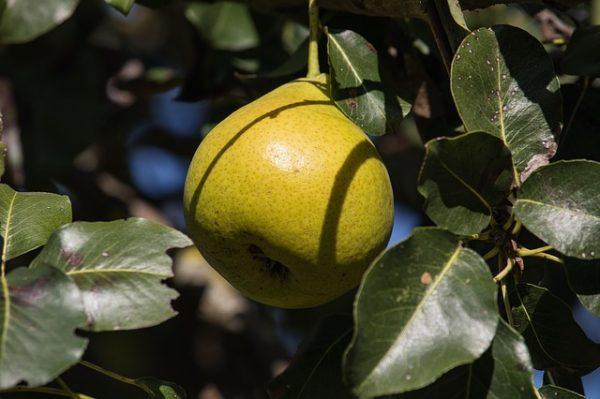 pear-3708591_640