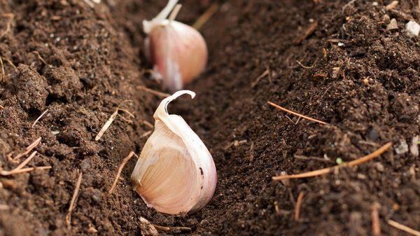 garlic10