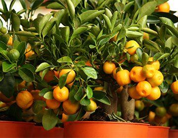 lemon-tree10