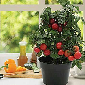 pomidori_na_podokonnike