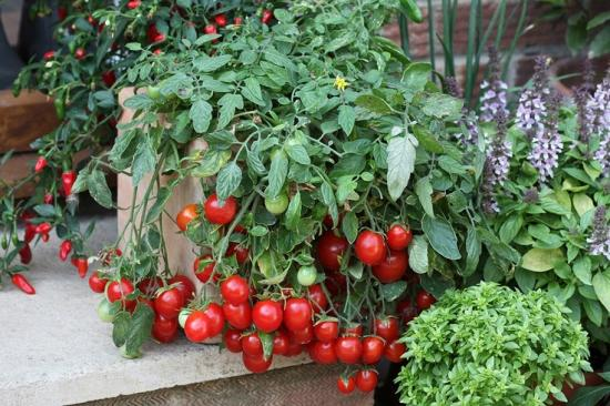 pomidori_na_podokonnike6