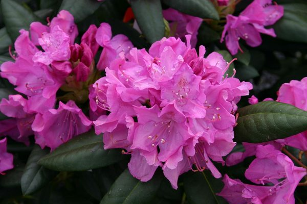 rododendron4