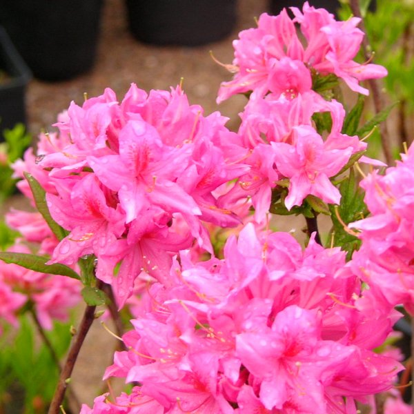 rododendron9