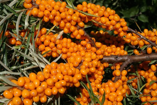 sea-buckthorn2