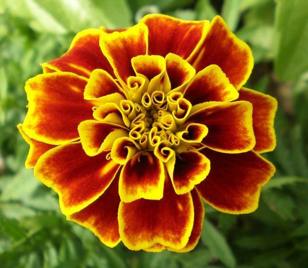flower_barhatzi