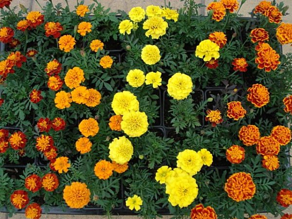 flower_barhatzi2