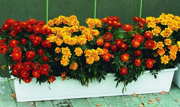 flower_barhatzi9
