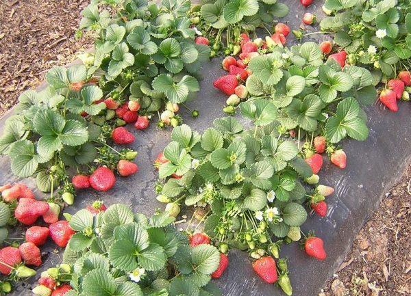 strawberry8