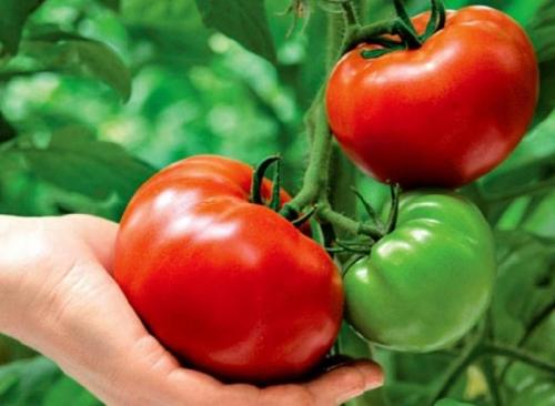 tomato10-1