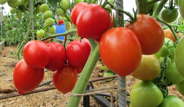 tomato12