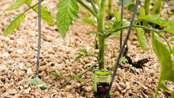 tomato4-2