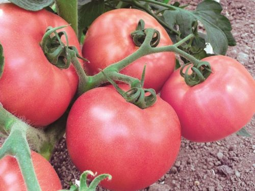 tomato8-1