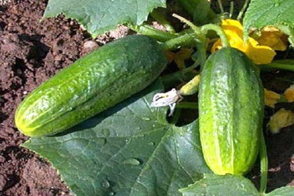 cucumbers7