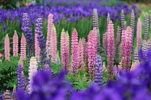 lupins2