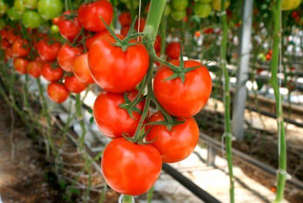 pomidory_v_teplice