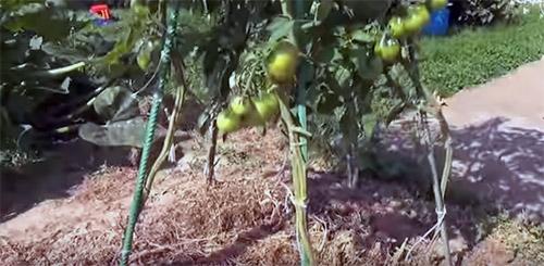 tomato4-1